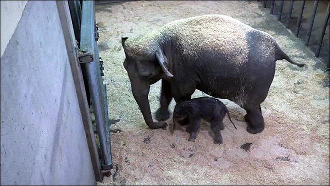 Baby Elephant Meets Big Brother