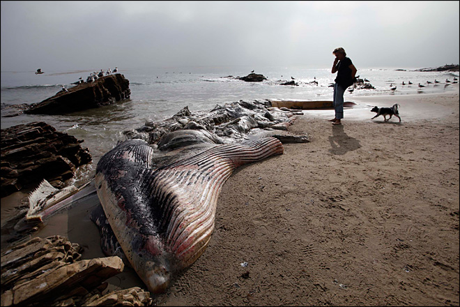Rotting whale casts foul stench into Malibu