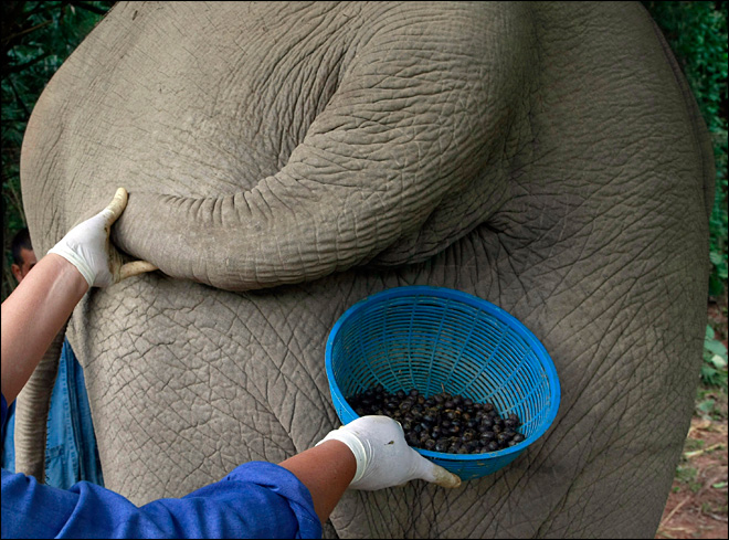 Elephant dung coffee: An exotic brew at $50 a pop