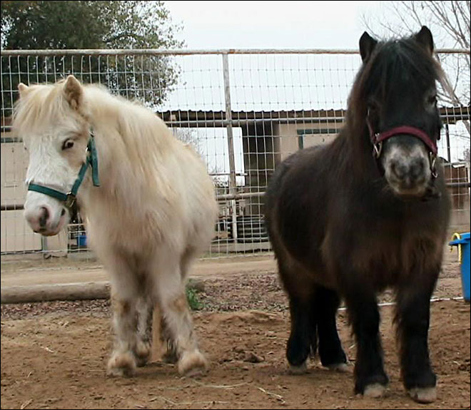 Two mini horses get a second chance after animal hoarding farm
