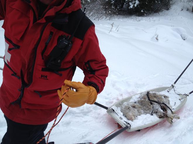 Ski patrol rescues sheep