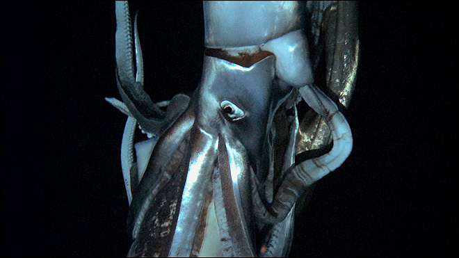 Giant squid captured on video for first time