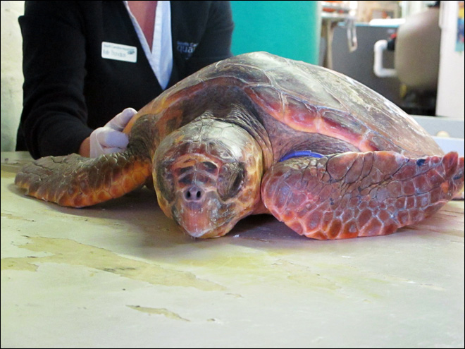 Volunteers search NC coast to rescue sea turtles