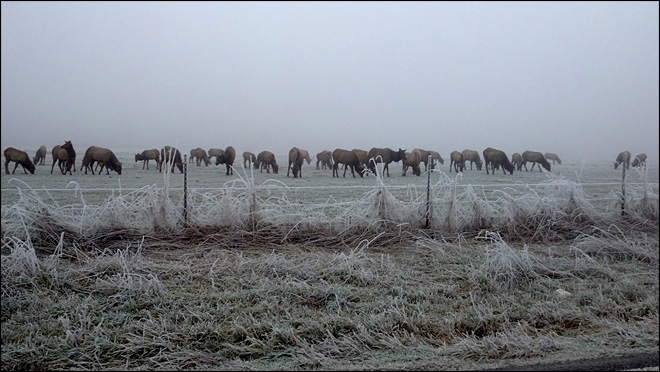 Frigid Cows in Littlerock
