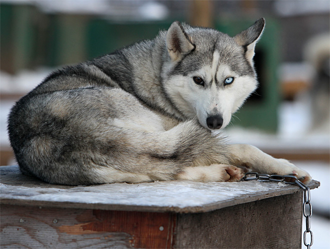 Blind Sled Dog