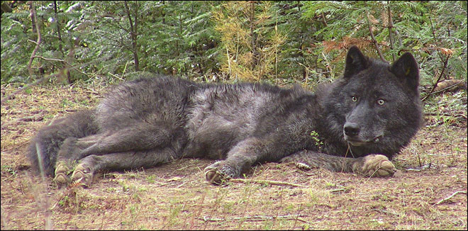 Wolf from Oregon killed by hunter in Idaho