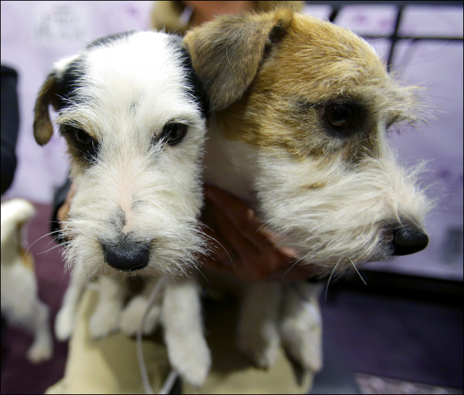 Treeing Walkers, Russell terriers set for dog show