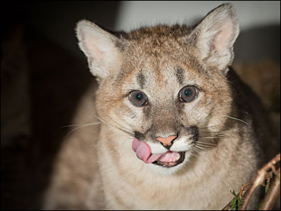 Cougar cubs 'intensely cute, but far from cuddly'