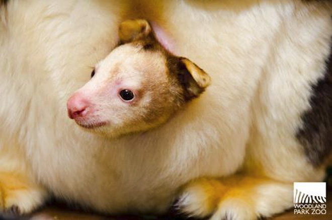 Tree Kangaroo Joey