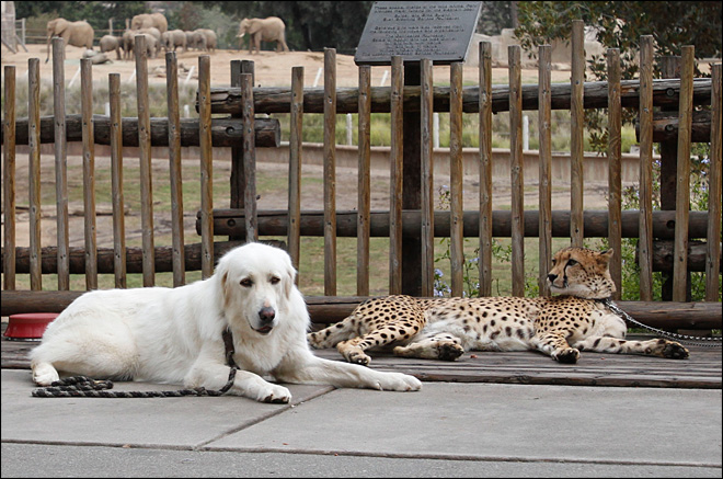 Nervous cheetahs get a helping paw from companion dogs
