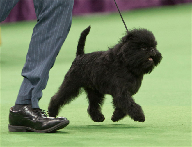 Banana Joe the affenpinscher wins Westminster