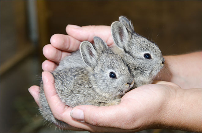 Pygmy Rabbits