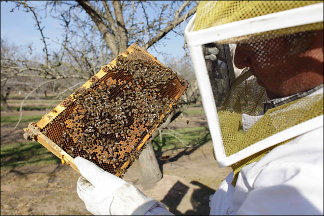 Fewer bees in U.S. a threat to world's almond supply