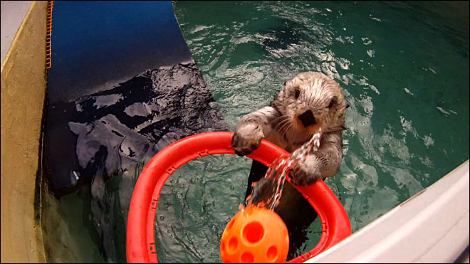 Sea otter slam dunks: 'He's definitely got game'