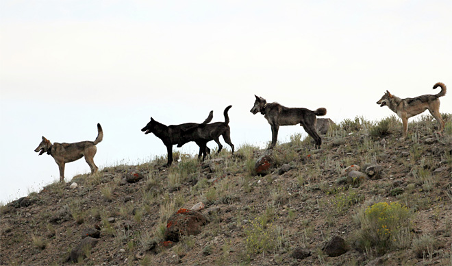 Wolves kill 31 sheep on Idaho ranch