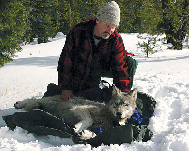 Oregon's ban on killing wolves spurs nonlethal options