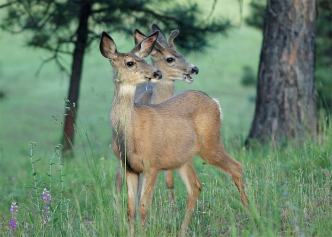 Don't feed the deer: It could kill them