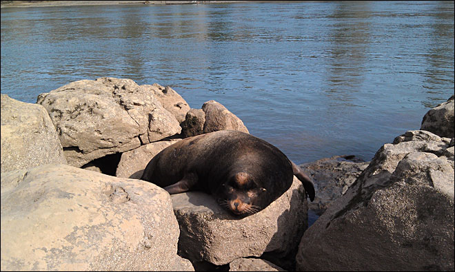 Sea lion shows up in Oregon city park