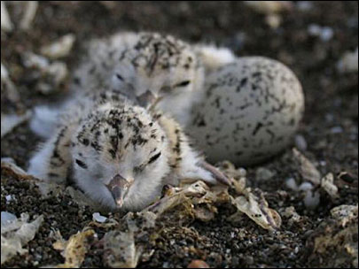 Keep your distance: Snowy plovers will start breeding soon