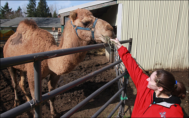 Camel back home after spending hour wandering town