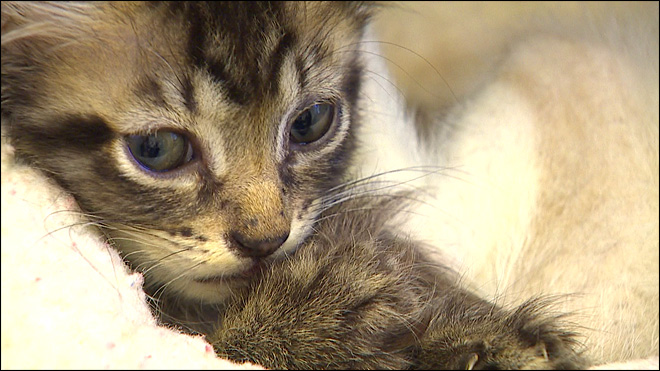 Wash. cat hoarders surrender more than 70 animals