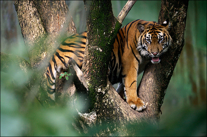 Farmer mauled to death by Sumatran tiger
