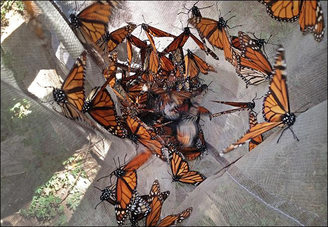Monarch butterflies drop ominously in Mexico