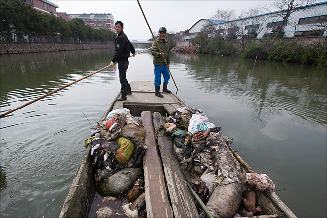 Thousands more dead pigs found floating in Shanghai river