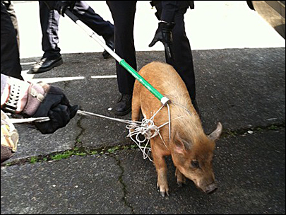 Missing a pig? Cops round up wandering oinker in Beaverton