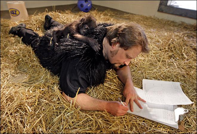 Baby gorilla thrives with human surrogates