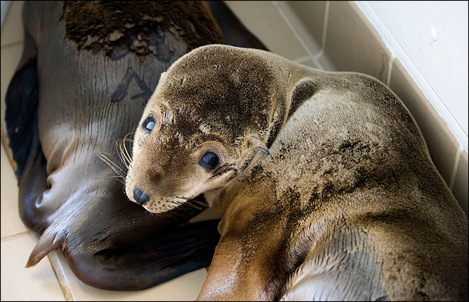 Starving sea lion pups fill Calif. rescue centers