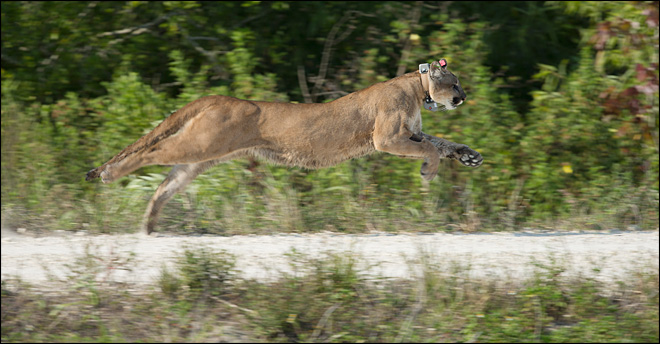 Rare Florida panther released back into the wild