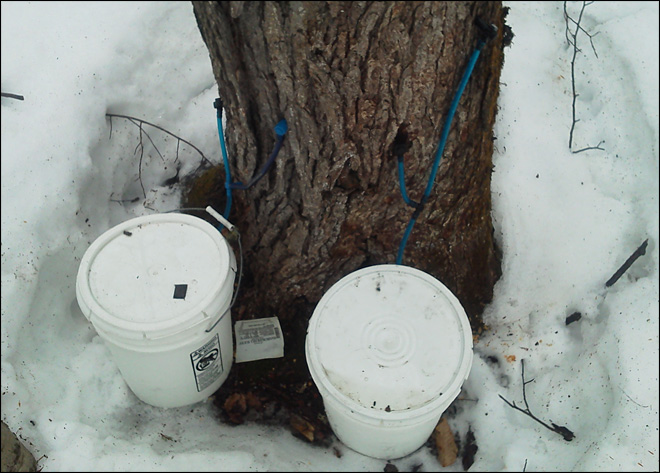 Sticky-fingered thieves target maple sap in Maine