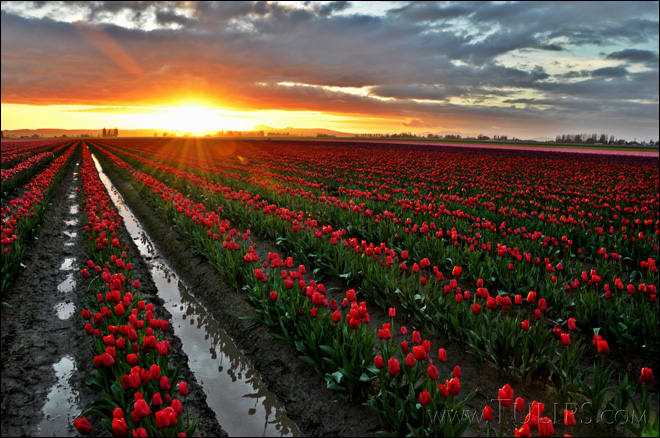 Skagit Valley blessed with perfect climate for tulips