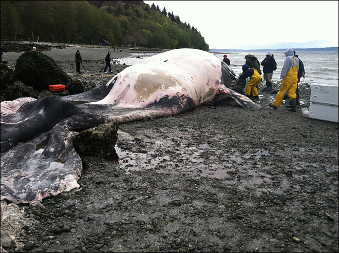 Dead fin whale to be towed off Washington beach