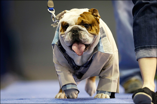 Huckleberry crowned most 'Beautiful Bulldog'