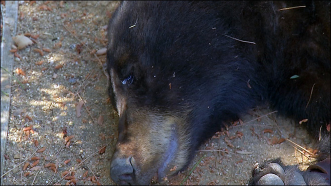 Black bear killed by wildlife officials in California