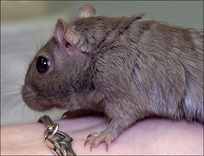Gerbils strut their stuff at New England pageant