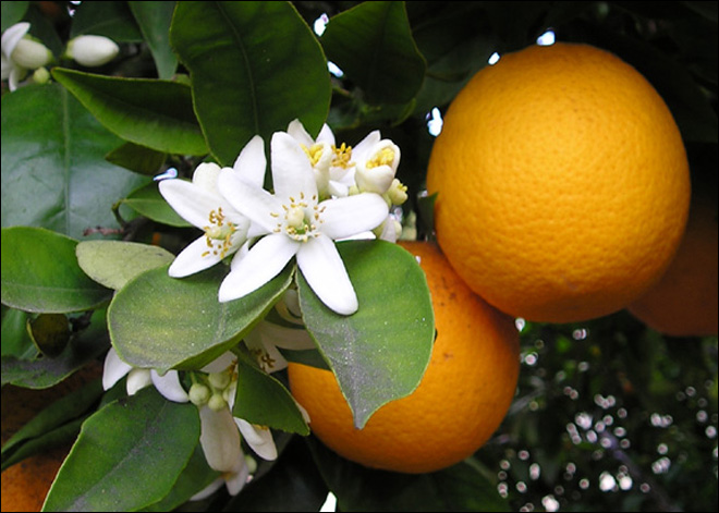 Coke plans major expansion of Fla. orange groves