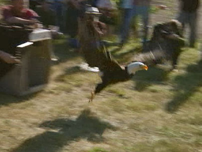 Bald eagle released back into the wild