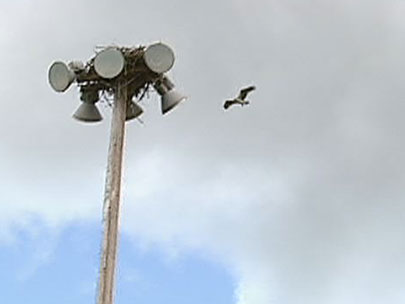 Osprey nest atop light post creates challenge for city