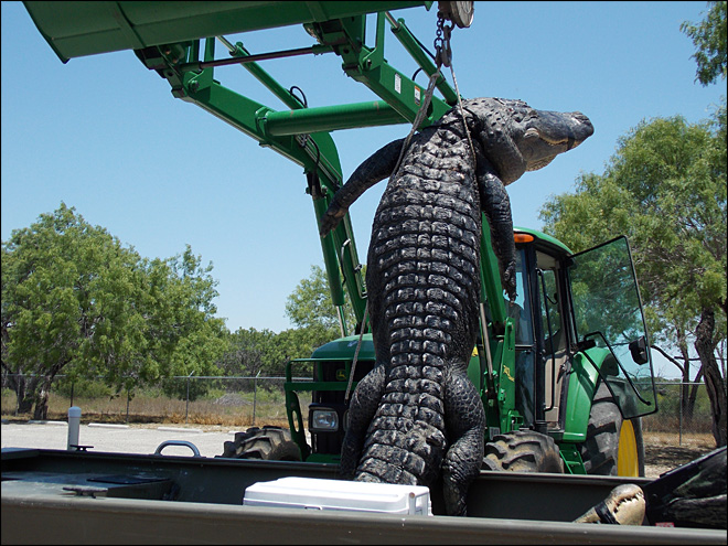 Texas senior, 18, bags 800-pound record alligator