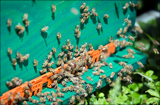 Scientists turn honeybees into land mine detectors