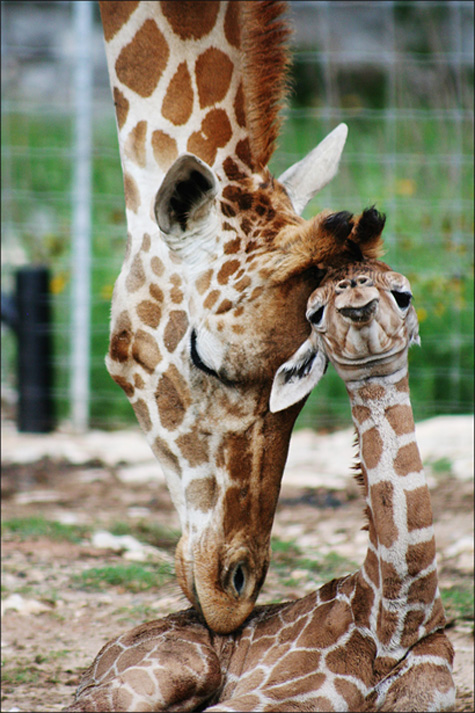 Rare twin giraffes born in Central Texas