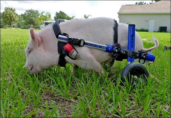 Pig using wheelchair becomes an inspiration
