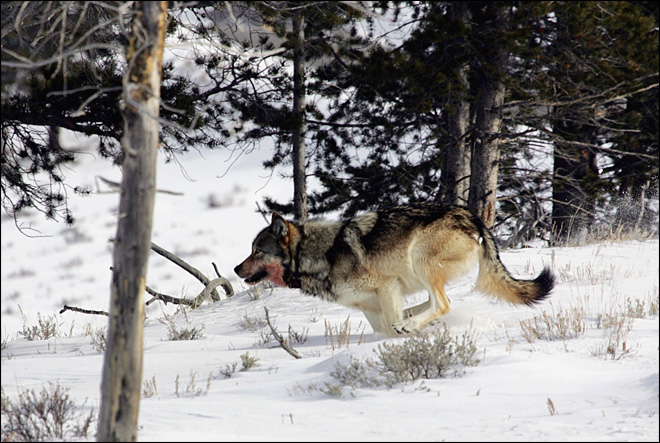 White house proposes lifting wolf protections