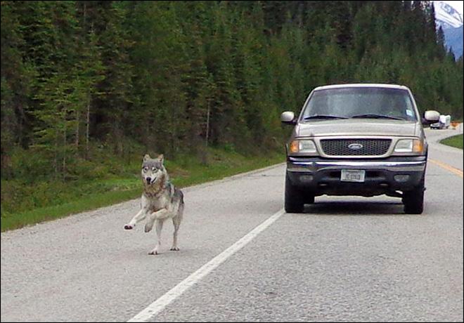 Wolf chases man on motorcycle in Canada