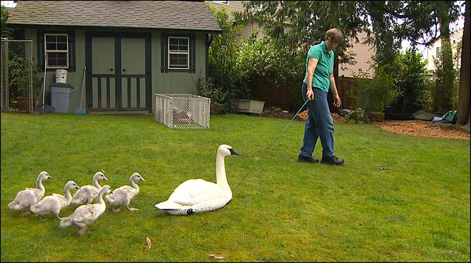 Baby swans at risk of becoming bald eagle appetizers were pulled from their parents and moved to a temporary home in Everett.