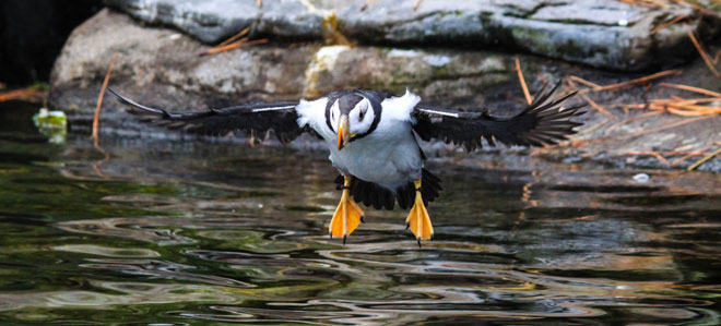 Horned puffins make their big debut at the Oregon Coast Aquarium