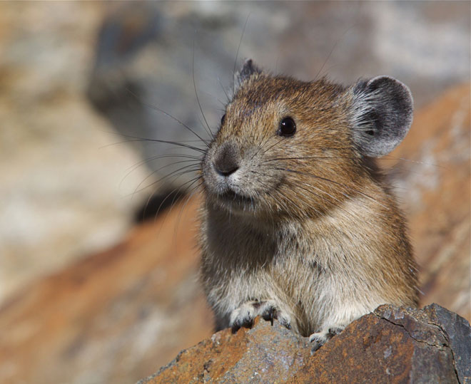 Oregon Zoo enlists citizen scientists to track American pika